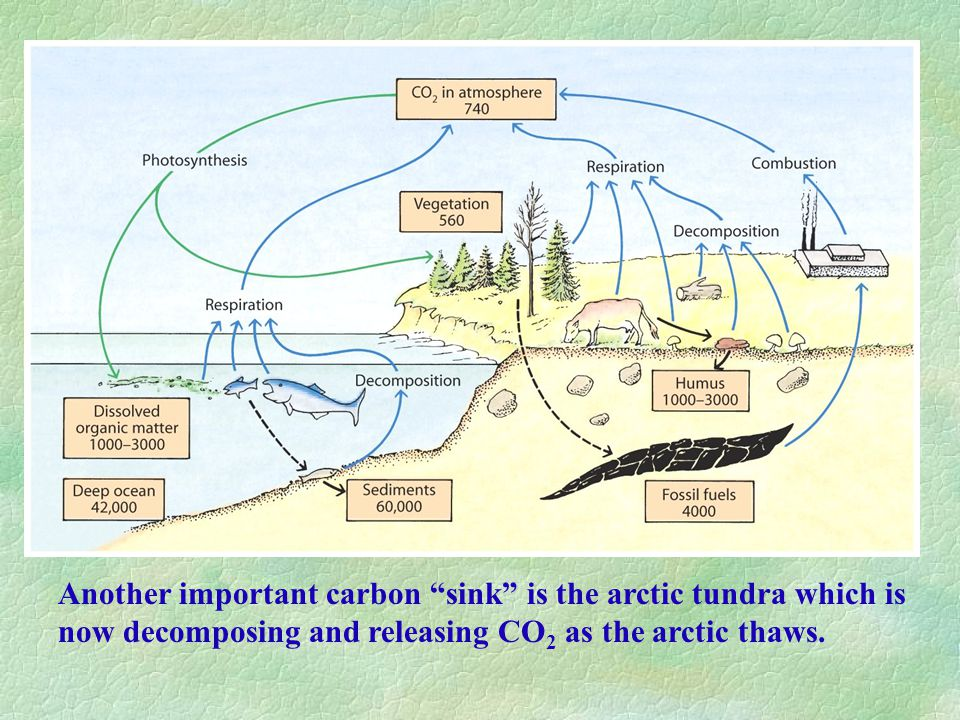 Another important carbon sink is the arctic tundra which is now decomposing and releasing CO 2 as the arctic thaws.