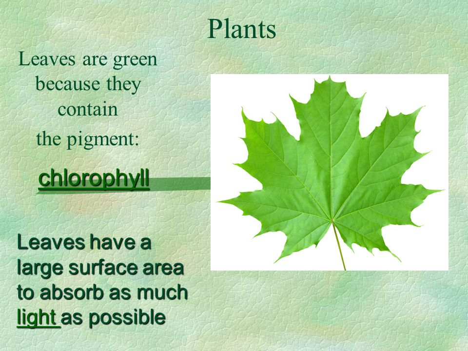 Plants Leaves are green because they contain the pigment: chlorophyll Leaves have a large surface area to absorb as much light as possible light