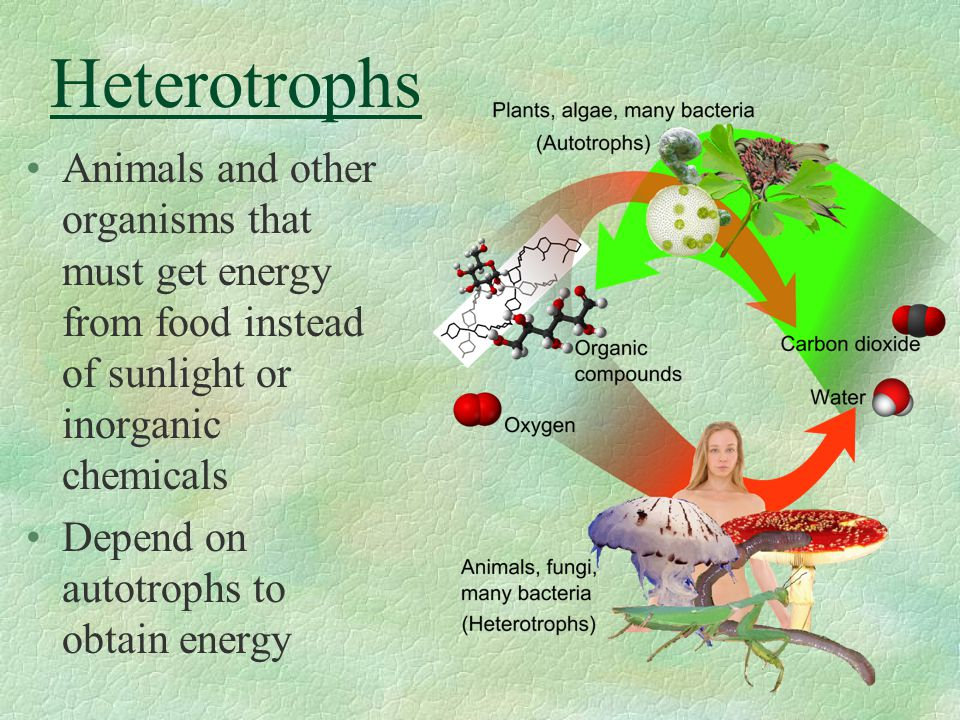 Heterotrophs Animals and other organisms that must get energy from food instead of sunlight or inorganic chemicals Depend on autotrophs to obtain ener