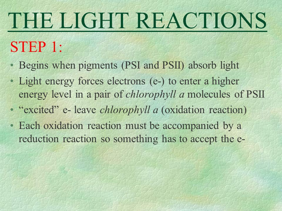 THE LIGHT REACTIONS STEP 1: Begins when pigments (PSI and PSII) absorb light Light energy forces electrons (e-) to enter a higher energy level in a pa