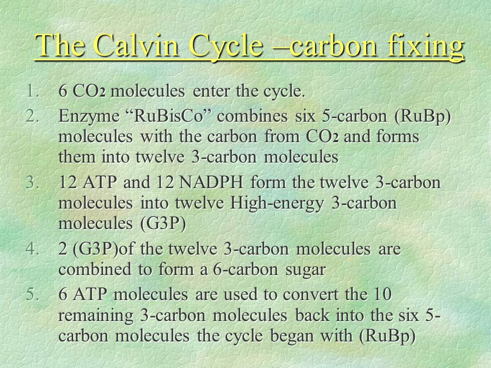 "The Calvin Cycle –carbon fixing 1.6 CO 2 molecules enter the cycle. 2.Enzyme ""RuBisCo"" combines six 5-carbon (RuBp) molecules with the carbon from CO"