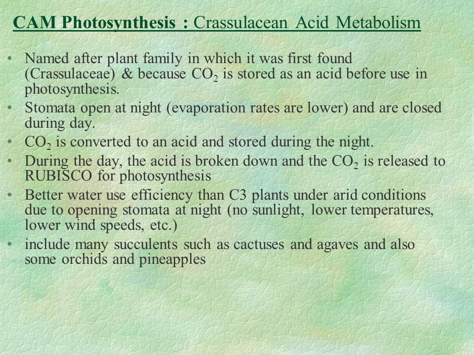 CAM Photosynthesis : Crassulacean Acid Metabolism Named after plant family in which it was first found (Crassulaceae) & because CO 2 is stored as an a