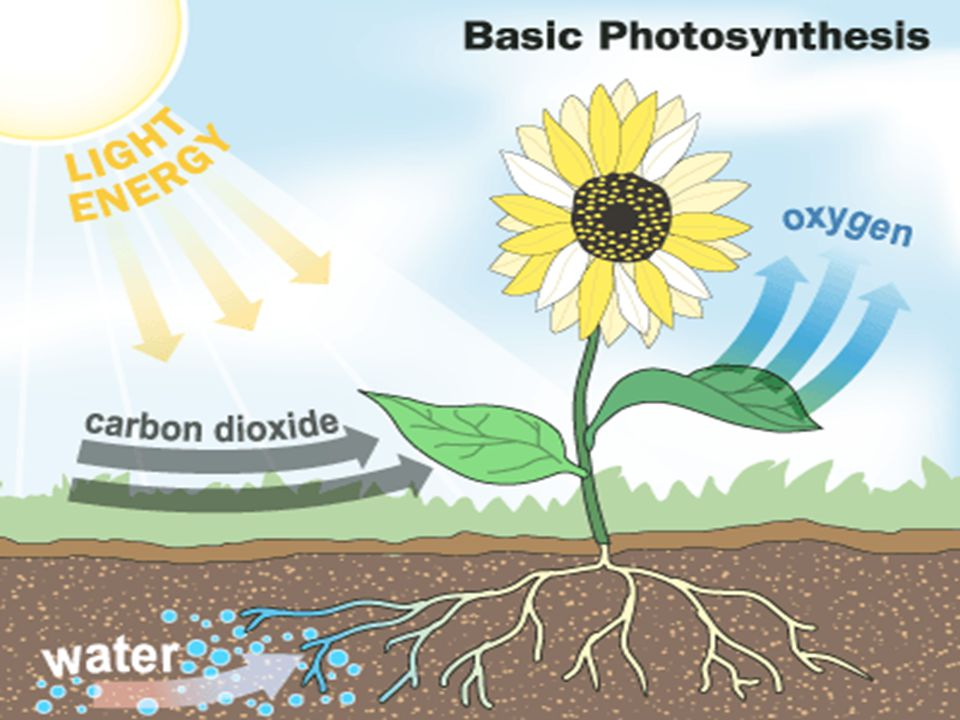 PHOTOSYNTHESIS 2 Phases Light-dependent reaction (Light Reactions) Light-independent reaction (Calvin Cycle) Light-dependent: converts light energy into chemical energy; produces ATP molecules and NADPH to be used to fuel light-independent reaction Light-independent: uses ATP, NADPH, and CO 2 to make simple sugars.