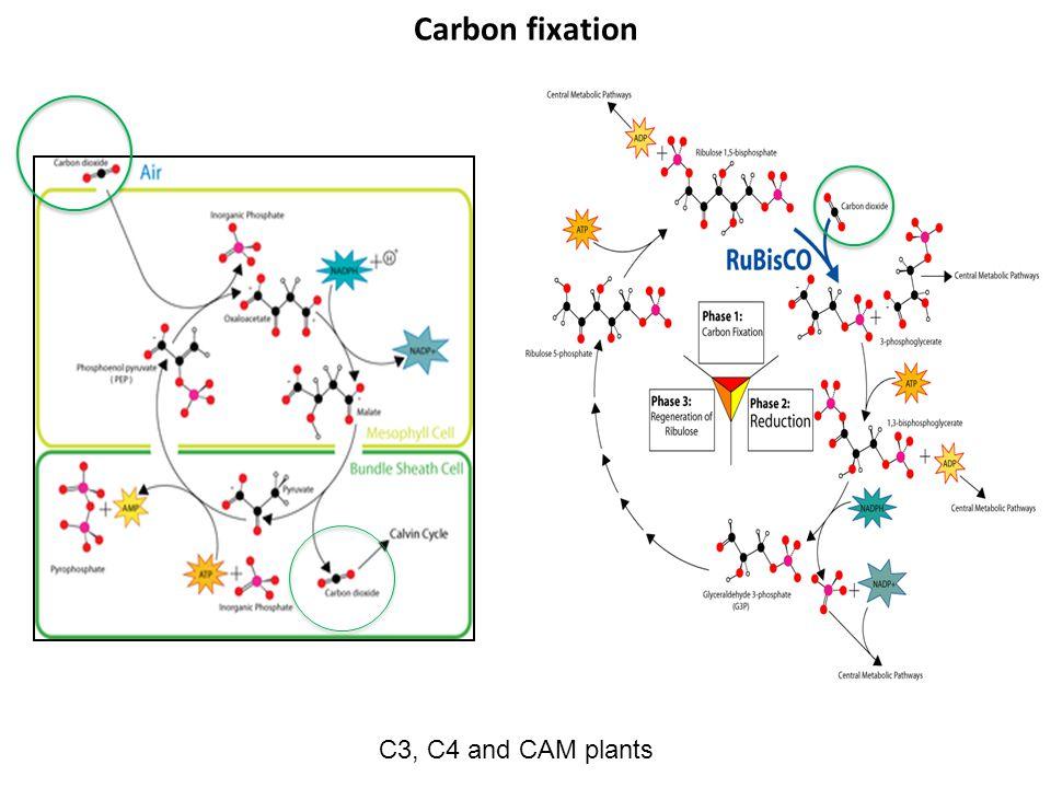 C3, C4 and CAM plants Carbon fixation