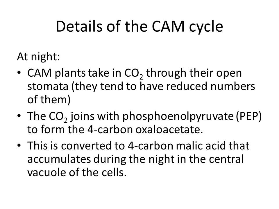 Details of the CAM cycle At night: CAM plants take in CO 2 through their open stomata (they tend to have reduced numbers of them) The CO 2 joins with phosphoenolpyruvate (PEP) to form the 4-carbon oxaloacetate.