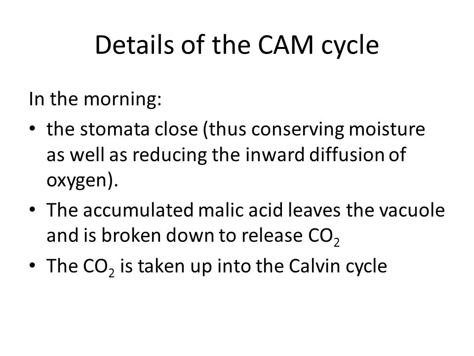 Details of the CAM cycle In the morning: the stomata close (thus conserving moisture as well as reducing the inward diffusion of oxygen).