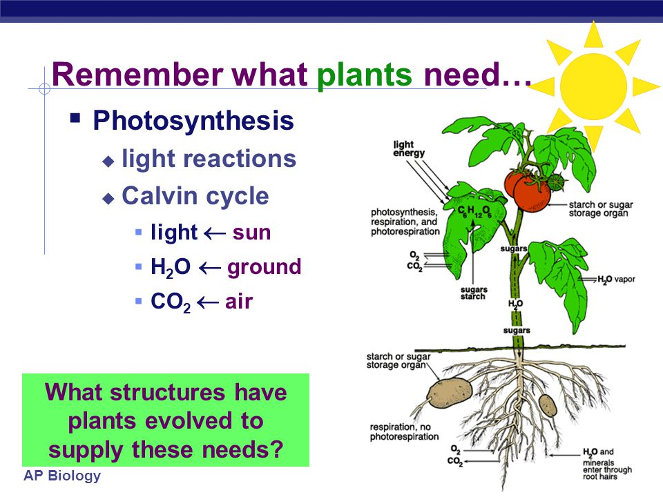 AP Biology 4/18/2015 A second look at stomates…  Gas exchange  CO 2 in  for Calvin cycle  O 2 out  from light reactions  H 2 O out  for light reactions photosynthesis gas exchange water loss xylem (water) phloem (sugars) O2O2 CO 2 O2O2 H2OH2O