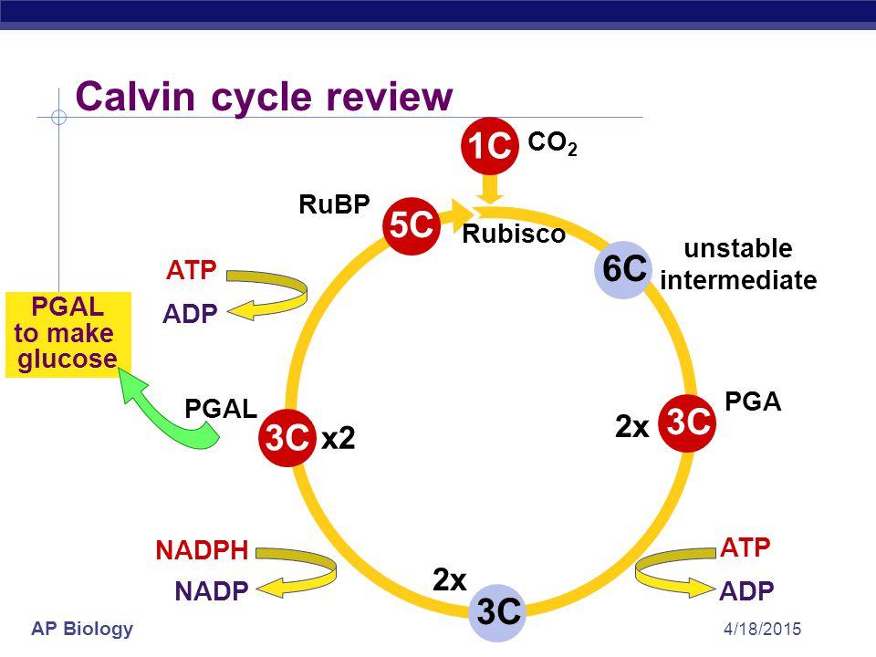 AP Biology 4/18/2015 1C CO 2 Calvin cycle review 5C RuBP 3C 2x PGA 3C x2 PGAL to make glucose Rubisco C3 plants