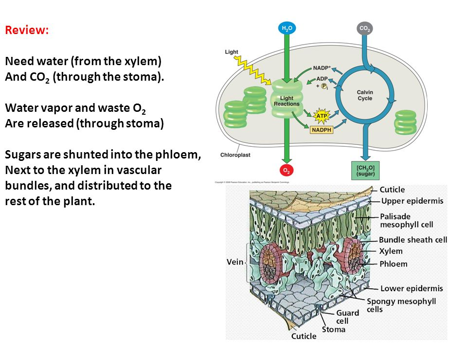 Review: Need water (from the xylem) And CO 2 (through the stoma).