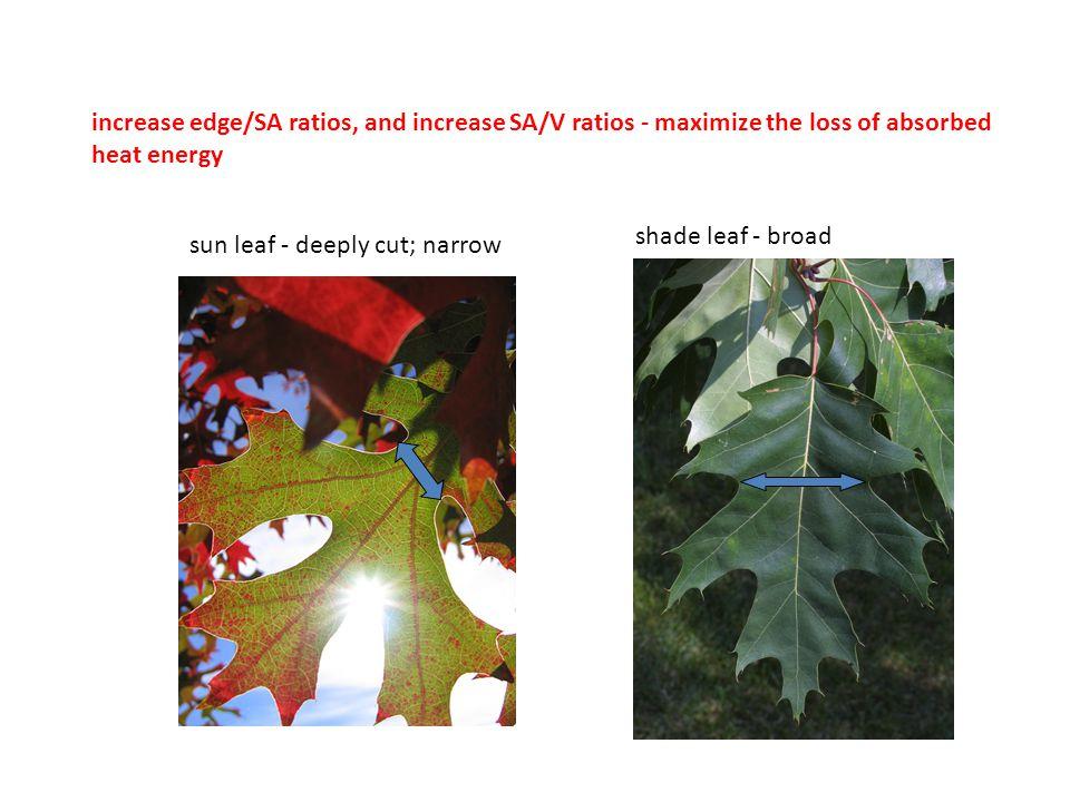 increase edge/SA ratios, and increase SA/V ratios - maximize the loss of absorbed heat energy sun leaf - deeply cut; narrow shade leaf - broad