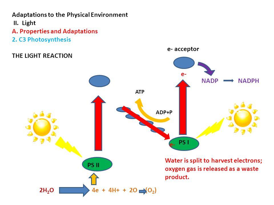 The Light Dependent Reaction e- 6 CO 2 C 6 (glucose) ATP ADP+ P Light Independent Reaction Light Dependent Reaction