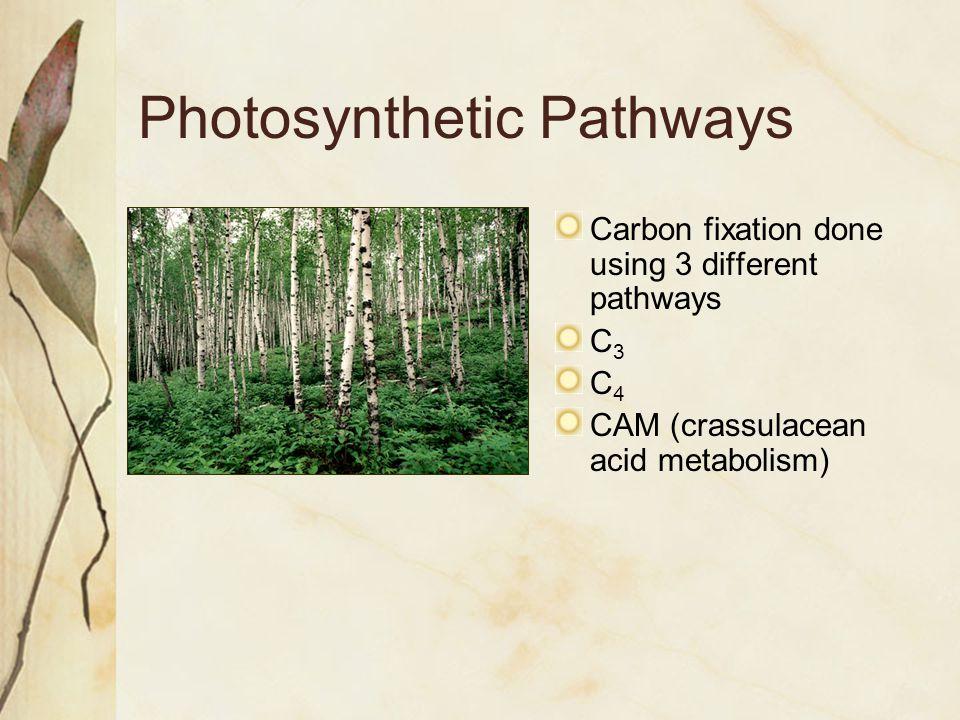 Photosynthetic Pathways Carbon fixation done using 3 different pathways C3C3 C4C4 CAM (crassulacean acid metabolism)