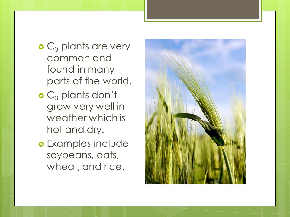  C 3 plants are very common and found in many parts of the world.