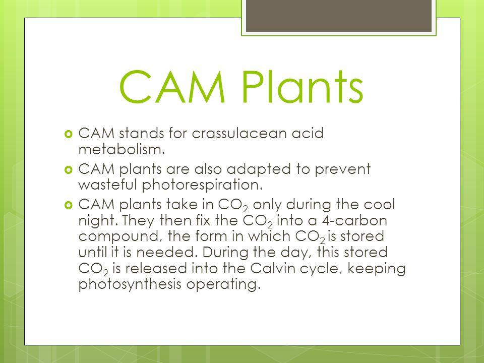 CAM Plants CCAM stands for crassulacean acid metabolism.