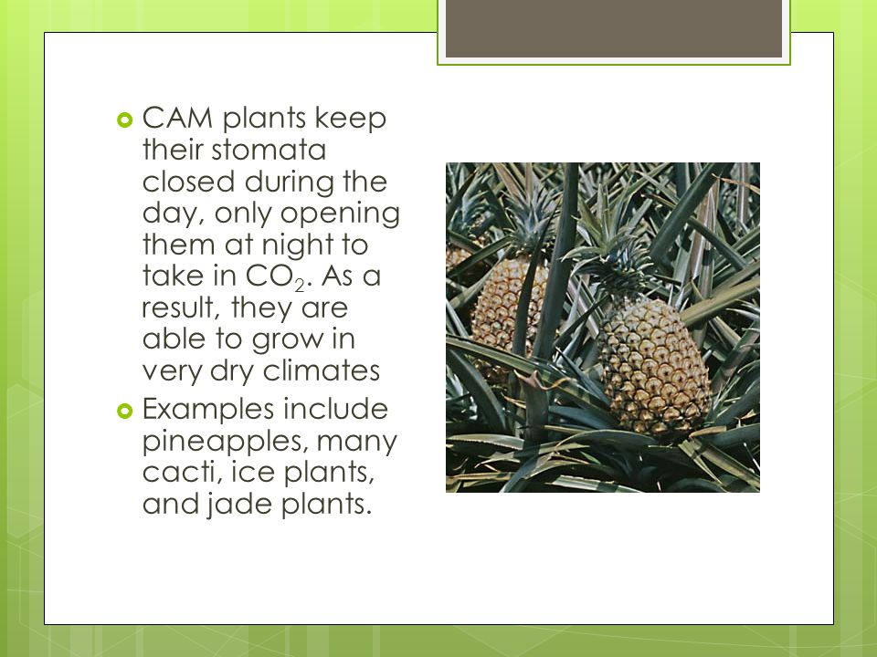  CAM plants keep their stomata closed during the day, only opening them at night to take in CO 2.