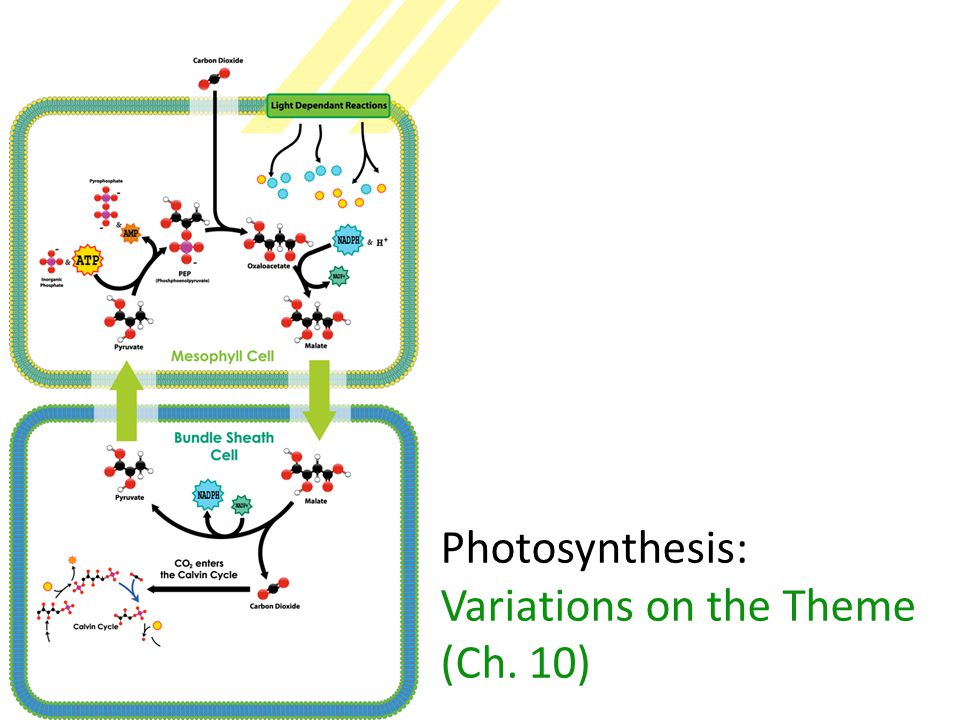 C4 leaf anatomy PEP (3C) + CO 2 → oxaloacetate (4C) CO 2 O 2 light reactions C4 anatomy  PEP carboxylase enzyme  higher attraction for CO 2 than O 2  better than RuBisCo  fixes CO 2 in 4C compounds  regenerates CO 2 in inner cells for RuBisCo  keeping O 2 away from RuBisCo bundle sheath cell RuBisCo PEP carboxylase stomate
