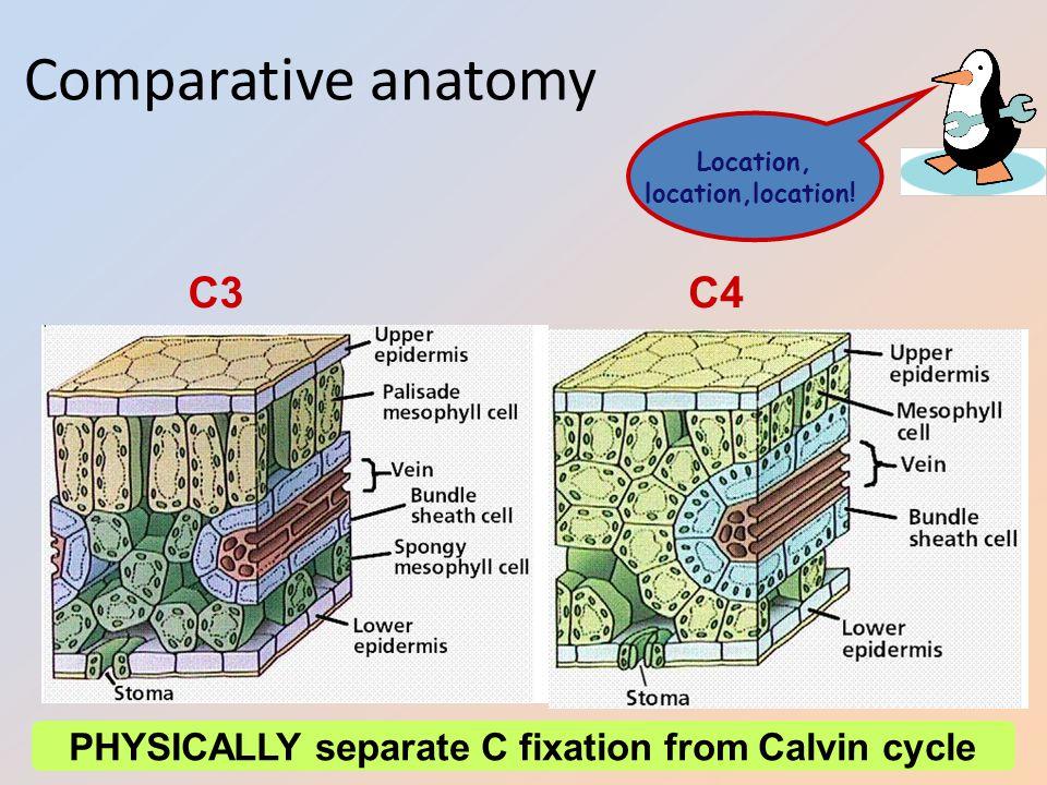 AP Biology Comparative anatomy C3C4 Location, location,location! PHYSICALLY separate C fixation from Calvin cycle