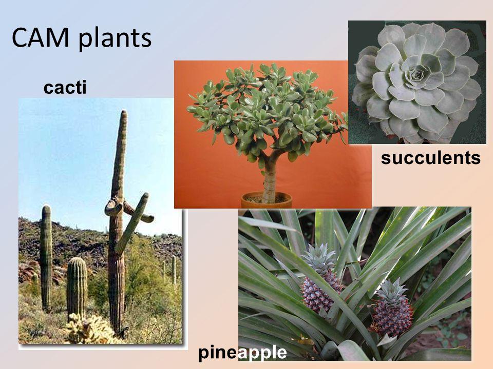 CAM plants succulents cacti pineapple