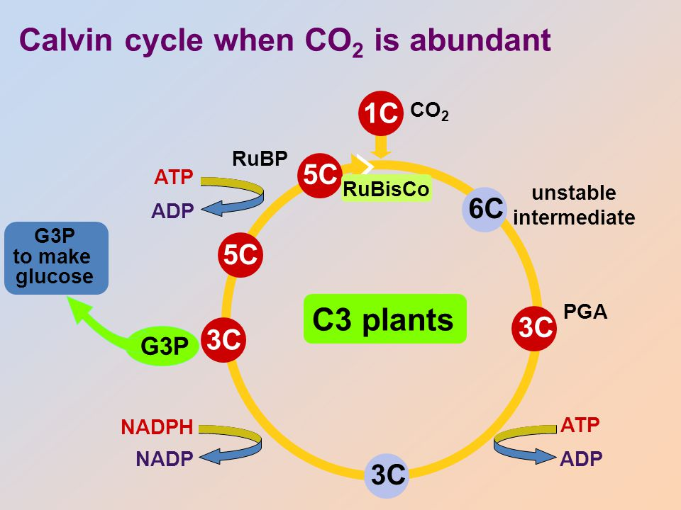 Calvin cycle when O 2 is high 5C RuBP 3C2C to mitochondria ––––––– lost as CO 2 without making ATP photorespiration O2O2 Hey Dude, are you high on oxygen.