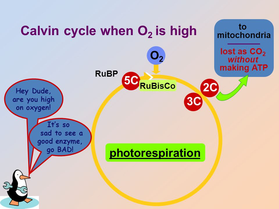 Impact of Photorespiration Oxidation of RuBP – short circuit of Calvin cycle – loss of carbons to CO 2 can lose 50% of carbons fixed by Calvin cycle – reduces production of photosynthesis no ATP (energy) produced no C 6 H 12 O 6 (food) produced – if photorespiration could be reduced, plant would become 50% more efficient strong selection pressure to evolve alternative carbon fixation systems