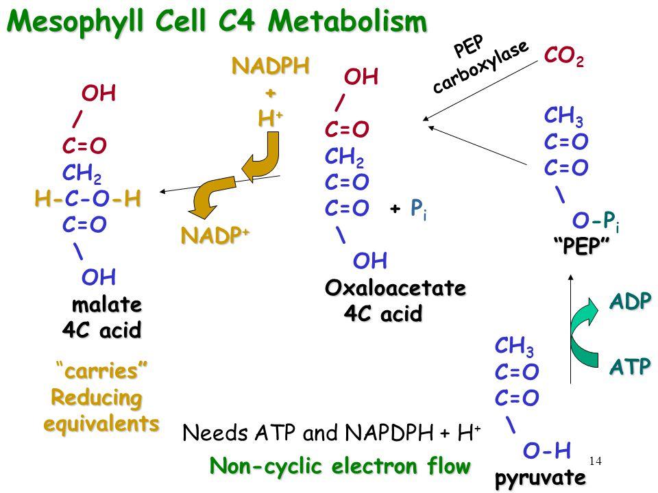 "14 CO 2 CH 3 C=O \ O-P i ""PEP"" ""PEP"" OH / C=O CH 2 C=O C=O + P i \ OHOxaloacetate 4C acid 4C acid OH / C=O CH 2 H--H H-C-O-H C=O \ OH malate malate 4C"