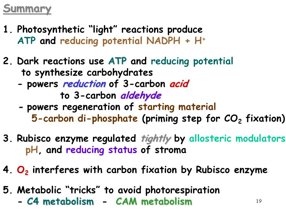 """19Summary 1. 1.Photosynthetic """"light"""" reactions produce ATP and reducing potential NADPH + H + ATP 2. Dark reactions use ATP and reducing potential to"""