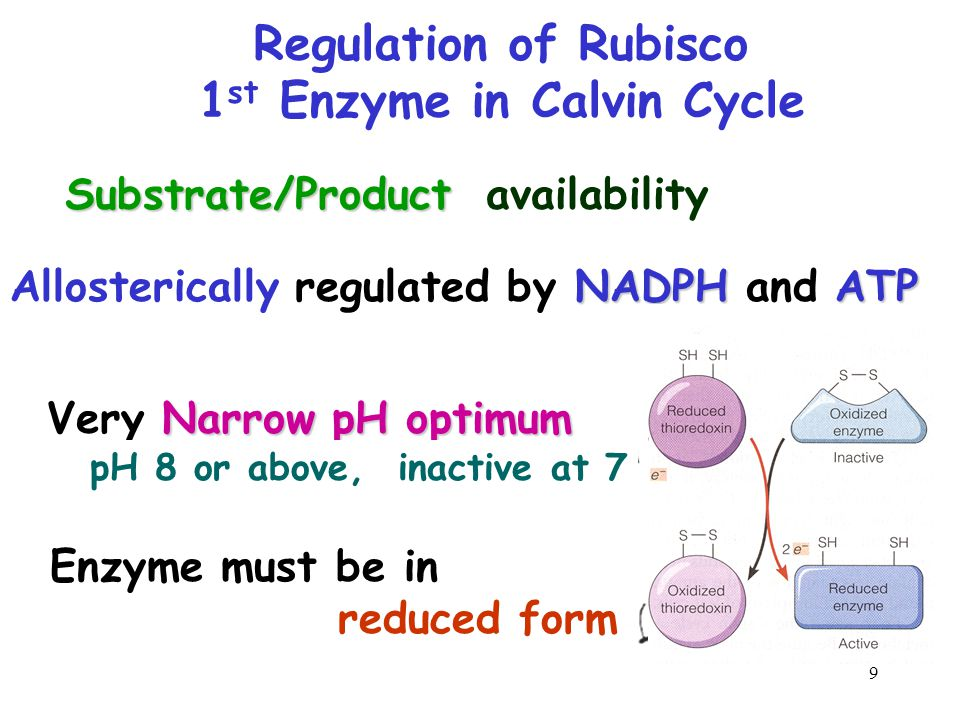 10 Integration of Light-Dependent and Light-Independent Reactions They generally occur AT THE SAME TIME O2O2 CO 2 H2OH2O Light Light reaction Calvin cycle NADP + ADP ATP NADPH + P 1 RuBP 3-Phosphoglycerate Amino acids Fatty acids Starch (storage) Sucrose (export) G3P Photosystem II Electron transport chain Photosystem I Chloroplast Figure 10.21