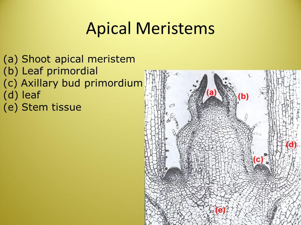 Apical Meristems (a) Shoot apical meristem (b) Leaf primordial (c) Axillary bud primordium (d) leaf (e) Stem tissue