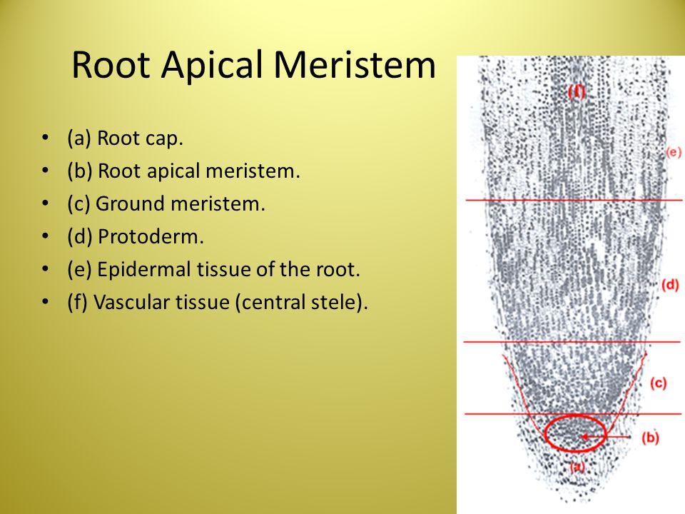 Root Apical Meristem (a) Root cap. (b) Root apical meristem. (c) Ground meristem. (d) Protoderm. (e) Epidermal tissue of the root. (f) Vascular tissue
