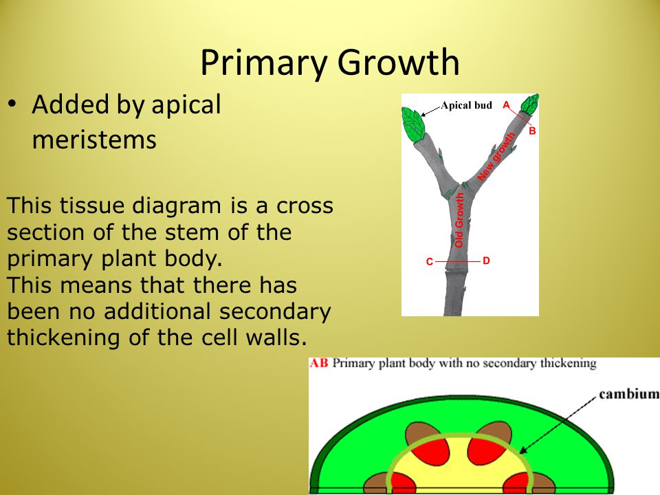 Primary Growth Added by apical meristems This tissue diagram is a cross section of the stem of the primary plant body. This means that there has been