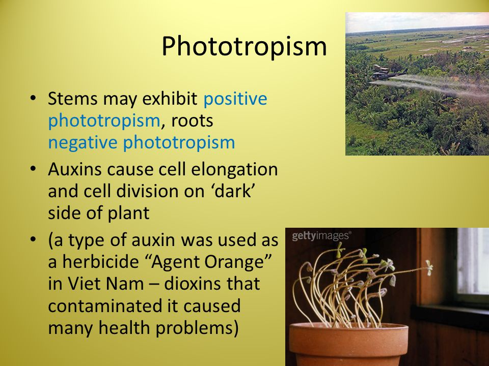 Phototropism Stems may exhibit positive phototropism, roots negative phototropism Auxins cause cell elongation and cell division on 'dark' side of pla