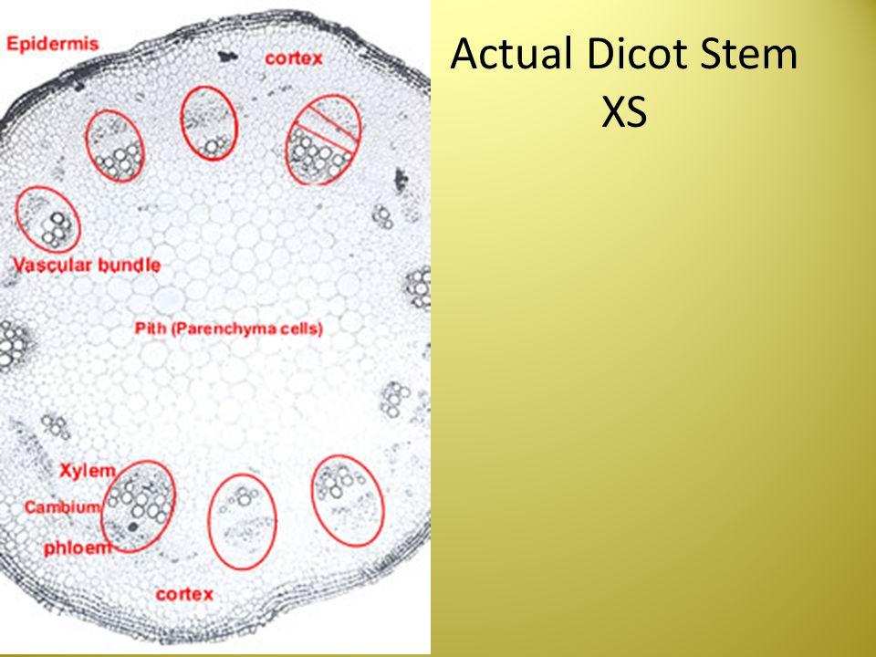 Actual Dicot Stem XS