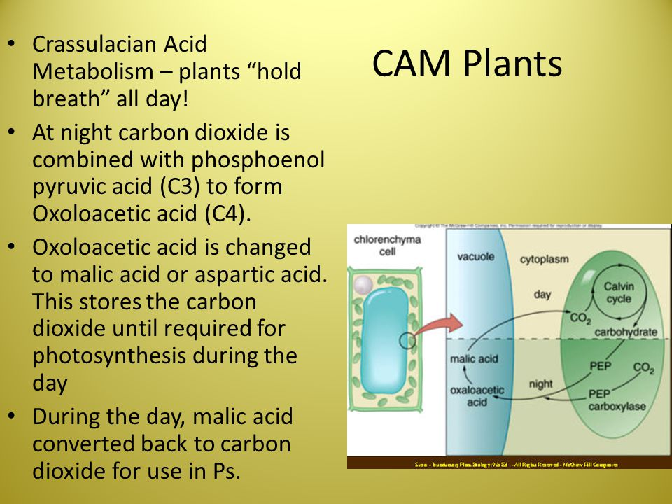 """CAM Plants Crassulacian Acid Metabolism – plants """"hold breath"""" all day! At night carbon dioxide is combined with phosphoenol pyruvic acid (C3) to form"""
