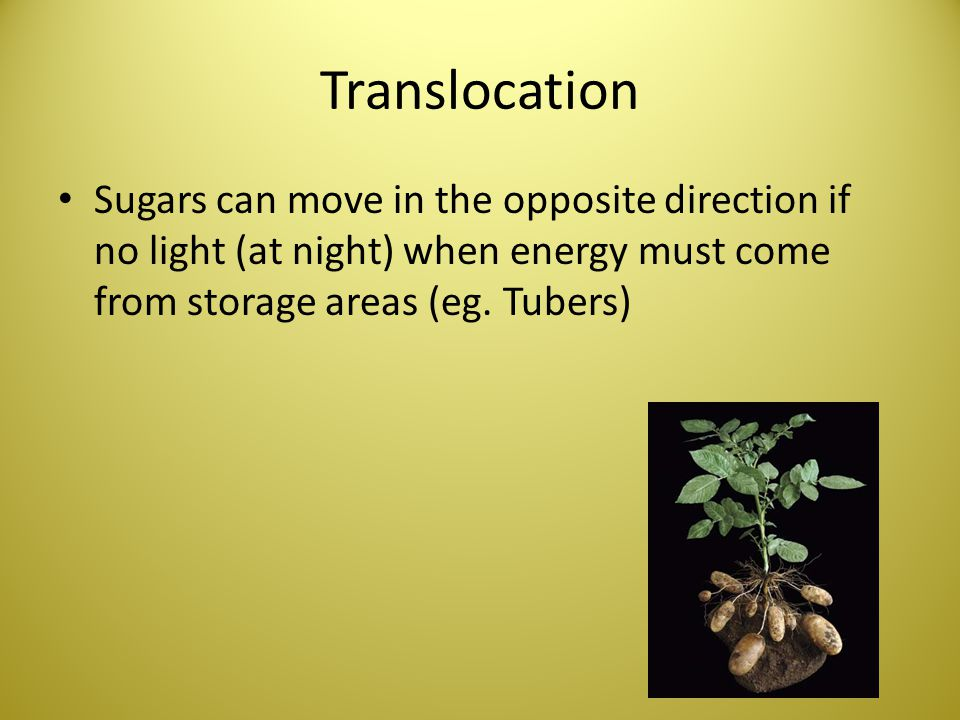 Translocation Sugars can move in the opposite direction if no light (at night) when energy must come from storage areas (eg. Tubers)