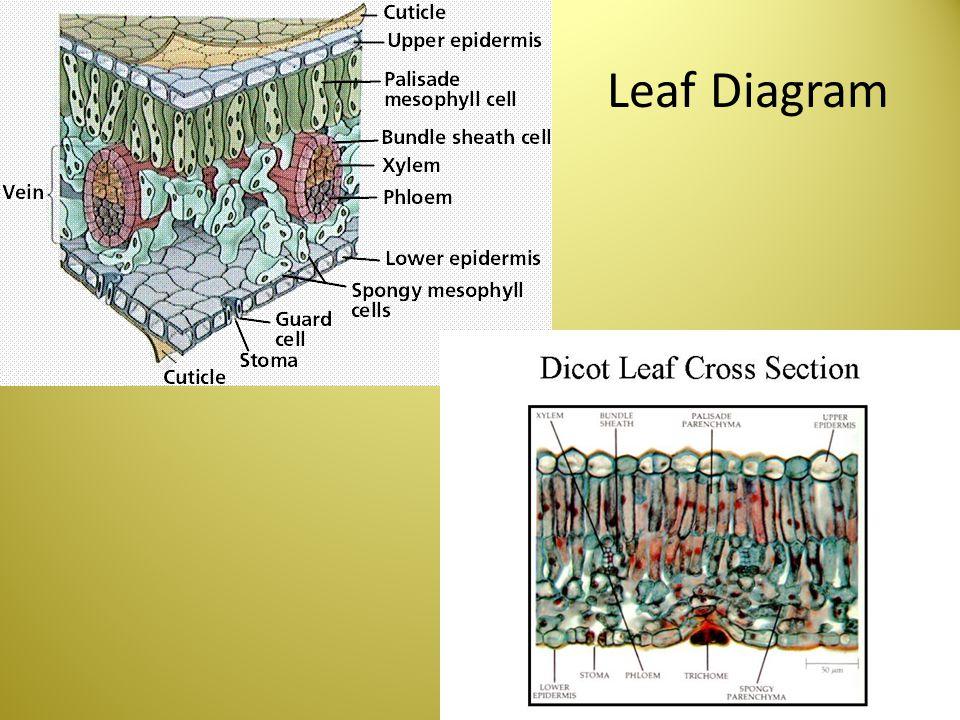 Leaf Diagram