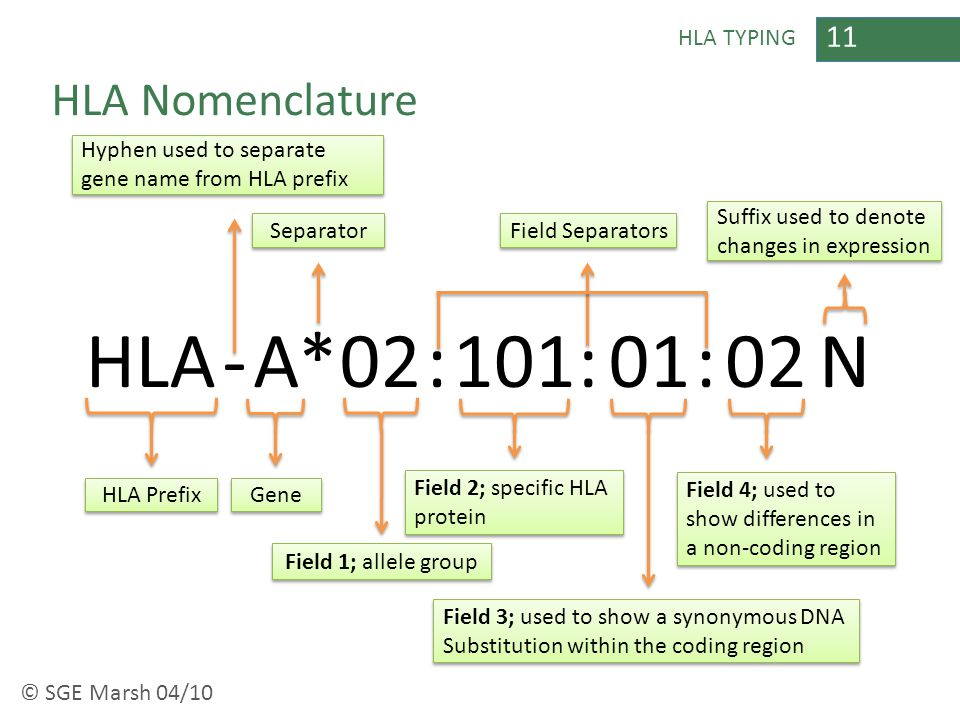 11 HLA TYPING HLA Nomenclature HLA-A*02:::1010102N HLA Prefix Gene Field 1; allele group Field 3; used to show a synonymous DNA Substitution within th