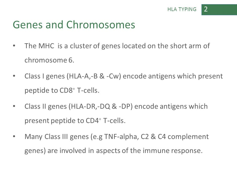 2 HLA TYPING Genes and Chromosomes The MHC is a cluster of genes located on the short arm of chromosome 6. Class I genes (HLA-A,-B & -Cw) encode antig