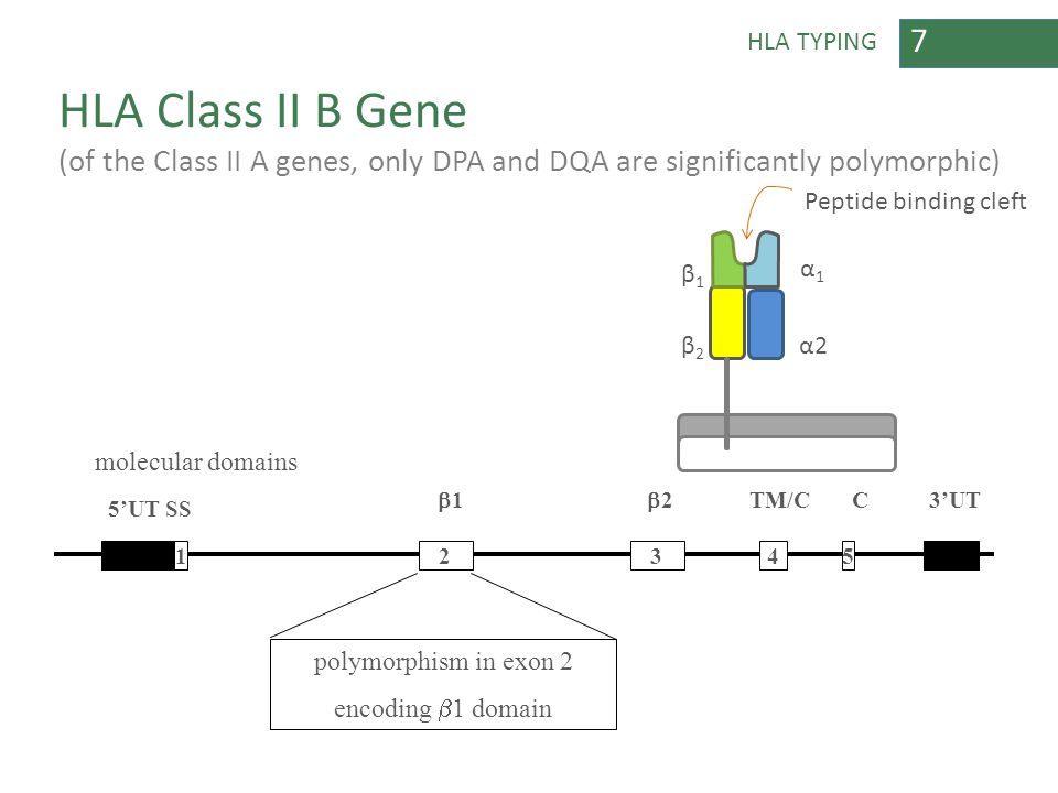 7 HLA TYPING HLA Class II B Gene (of the Class II A genes, only DPA and DQA are significantly polymorphic) 345 5'UT SS 2 2 TM/C C polymorphism in ex