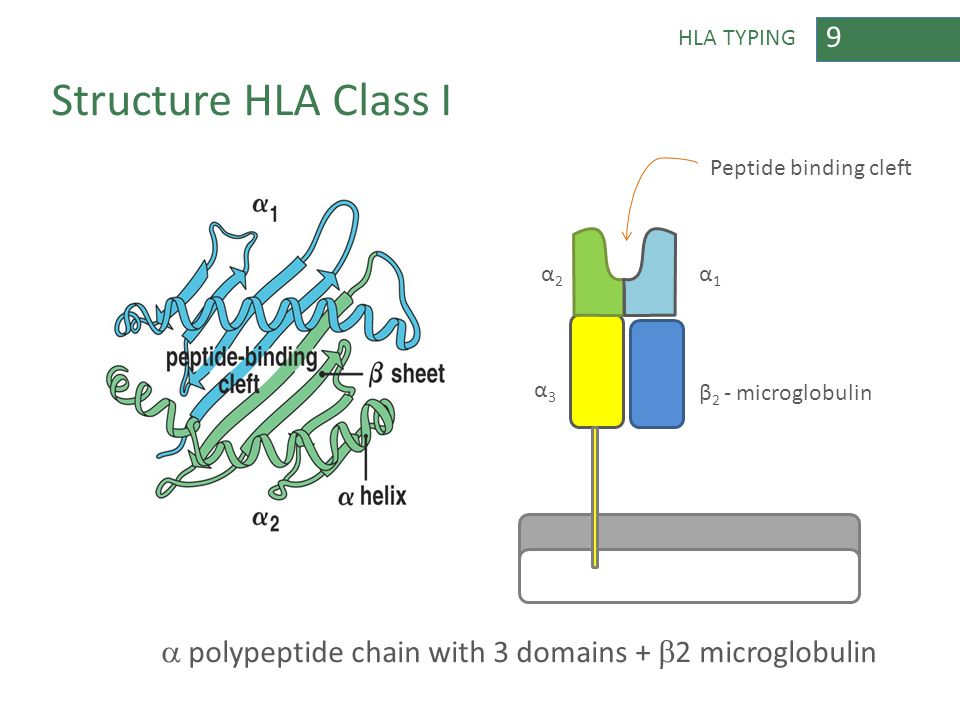 9 HLA TYPING Structure HLA Class I  polypeptide chain with 3 domains +  2 microglobulin α2α2 β 2 - microglobulin α3α3 α1α1 Peptide binding cleft