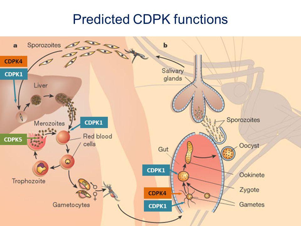 CDPK5 Predicted CDPK functions CDPK1 CDPK4 CDPK1 CDPK4 CDPK1