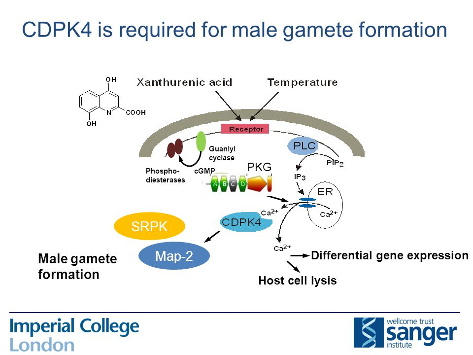 Host cell lysis Male gamete formation Differential gene expression Guanlyl cyclase cGMP PKG Phospho- diesterases Map-2 CDPK4 is required for male game