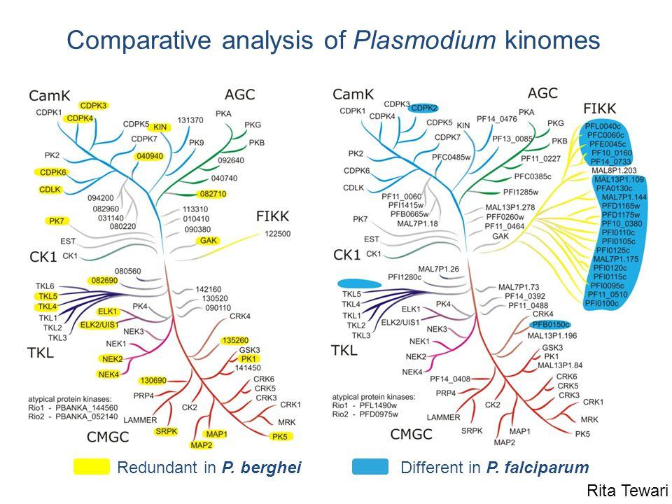 Comparative analysis of Plasmodium kinomes Different in P. falciparumRedundant in P. berghei Rita Tewari