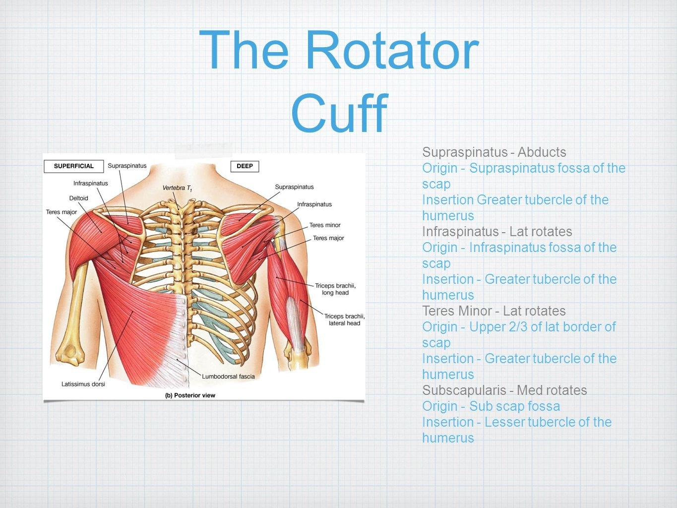 The Rotator Cuff Supraspinatus - Abducts Origin - Supraspinatus fossa of the scap Insertion Greater tubercle of the humerus Infraspinatus - Lat rotate