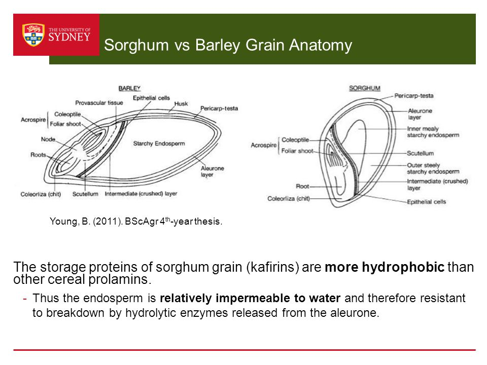 Sorghum vs Barley Grain Anatomy The storage proteins of sorghum grain (kafirins) are more hydrophobic than other cereal prolamins. -Thus the endosperm