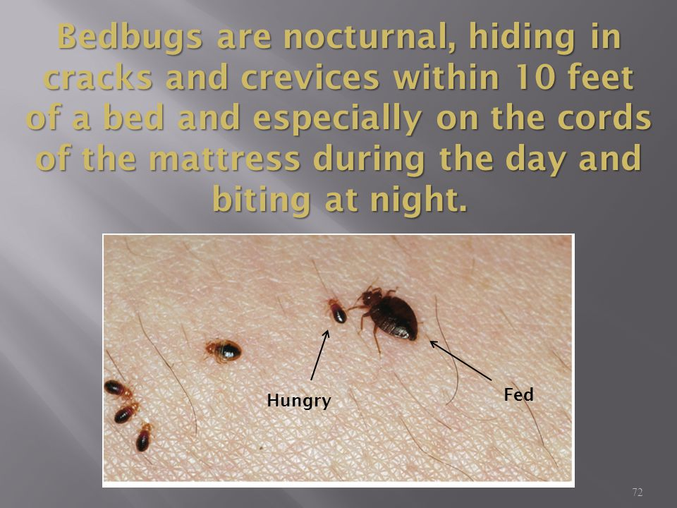 72 Bedbugs are nocturnal, hiding in cracks and crevices within 10 feet of a bed and especially on the cords of the mattress during the day and biting