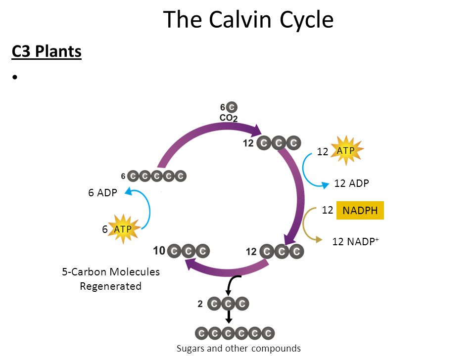 The Calvin Cycle C3 Plants 12 NADPH 12 12 ADP 12 NADP + 5-Carbon Molecules Regenerated Sugars and other compounds 6 6 ADP