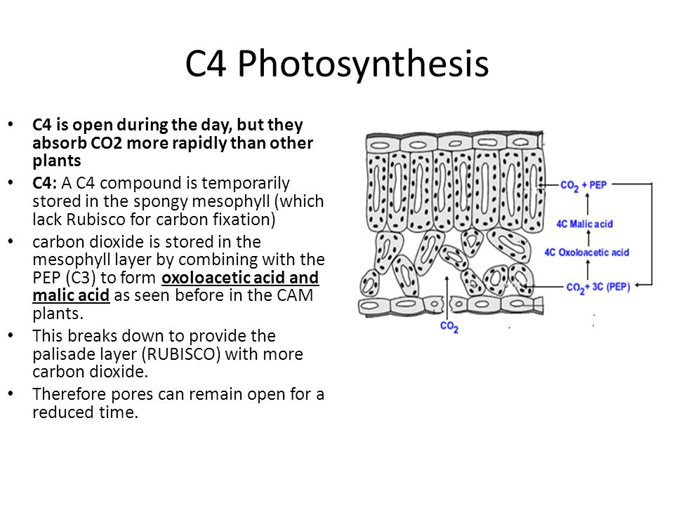 C4 Photosynthesis C4 is open during the day, but they absorb CO2 more rapidly than other plants C4: A C4 compound is temporarily stored in the spongy