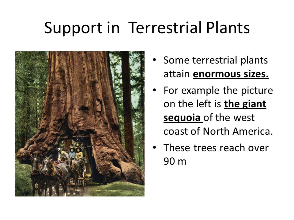 Support in Terrestrial Plants Some terrestrial plants attain enormous sizes. For example the picture on the left is the giant sequoia of the west coas