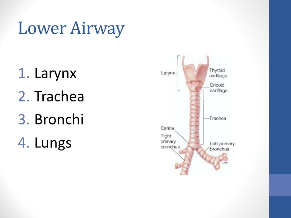 Lower Airway 1.Larynx 2.Trachea 3.Bronchi 4.Lungs
