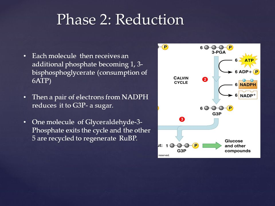 Phase 2: Reduction Each molecule then receives an additional phosphate becoming 1, 3- bisphosphoglycerate (consumption of 6ATP) Then a pair of electro